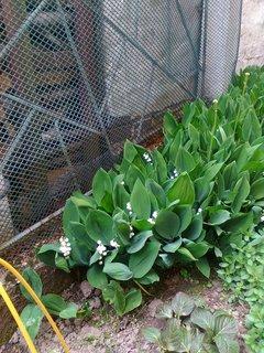FOTKA - konvalinky kvetou......
