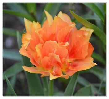 FOTKA - poslední letošní tulipán