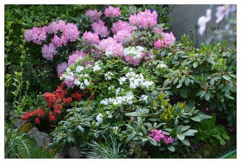 FOTKA - moje rododendrony a azalky