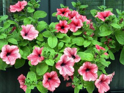 FOTKA - Ružová petúnie