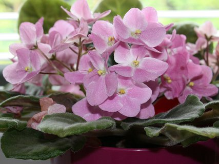 FOTKA - Ružová fialka