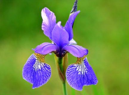 FOTKA - Mini iris v zahrádce