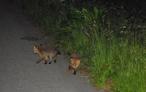 FOTKA - Dvě lištičky v noci na cestě