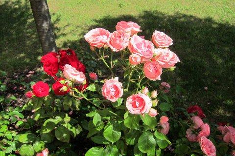 FOTKA - Z procházky parkem -  okolo růží