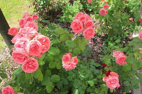 FOTKA - Z procházky parkem -  vůně růží osvěží