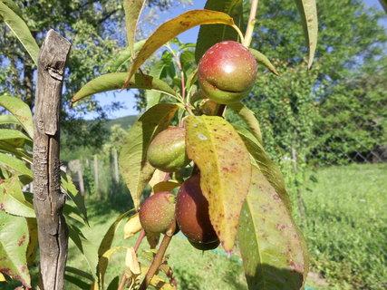 FOTKA - Ovocie nám dozrieva,,