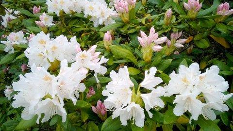 FOTKA - kvetoucí rododendron