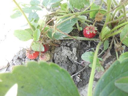 FOTKA - jahodky nám stále dozrievaju-rastu