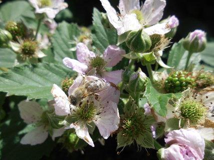 FOTKA - na černiciach včielka opeluje