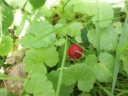 FOTKA - divá ozdobná jahodka ukrytá v zeleni
