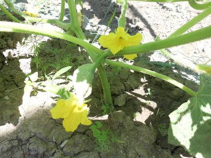 FOTKA - rastu aj uhorky-nakladačky