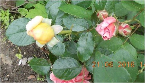 FOTKA - poupata žluté a růžové