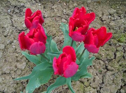 FOTKA - trs tulipánů