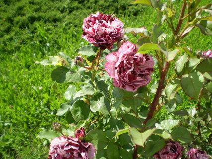 FOTKA - Růže před kostelem