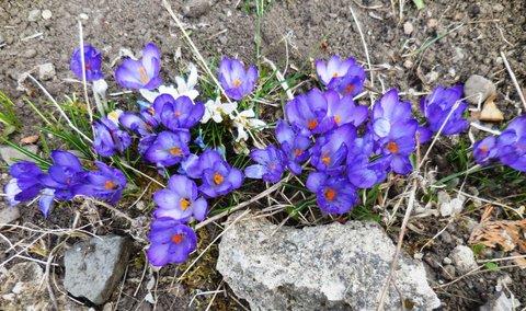 FOTKA - Krokusy v březnu
