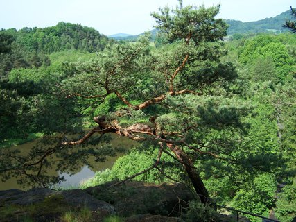 FOTKA - borovice na hradě