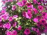 Bohatě kvetoucí petúnie