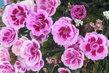 karafiáty v květináči