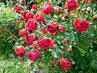 Růže - polyantka obalená květy (26.6.)
