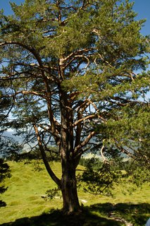 FOTKA - Výšlap ke Steinalm - Strom