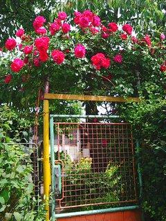 FOTKA - růžičky nad vchodem
