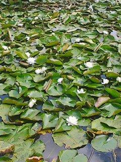 FOTKA - rybník samí leknín