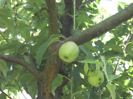FOTKA - aj jablčka už pomaly dozrievaju