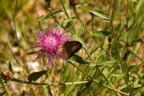 FOTKA - Výšlap k Lechner Alm - Motýlek na bodláku