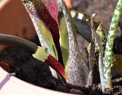 FOTKA - Květ zmijovce
