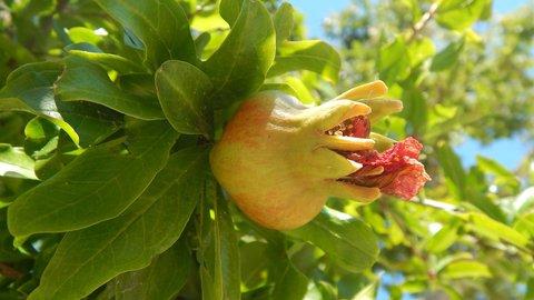 FOTKA - granátové jablíčko