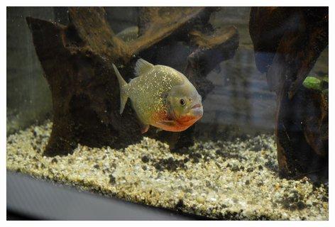 FOTKA - piraňa je docela pěkná rybka, ale prst bych ji nepodala