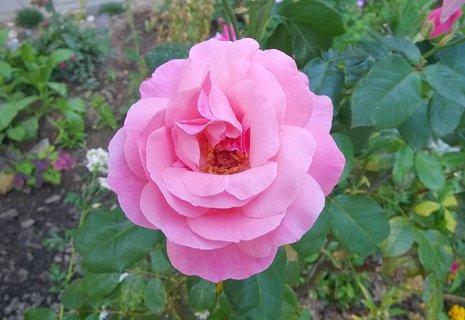 FOTKA - jedna z mých růží
