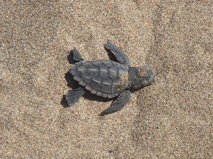 FOTKA - Cyprus - pláž Lara - malá korytnačka