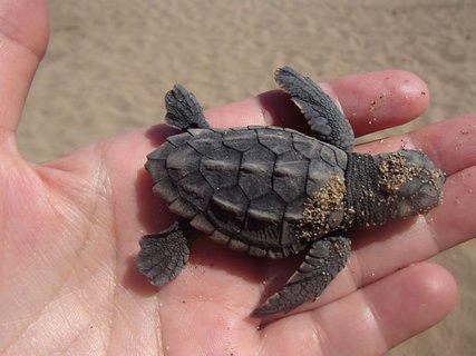 FOTKA - Cyprus - pláž Lara - malá korytnačka, bola menšia sko dlaň