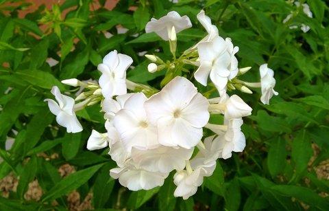 FOTKA - květ bílého floxu