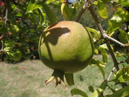 FOTKA - Cyprus - granátové jabĺčko