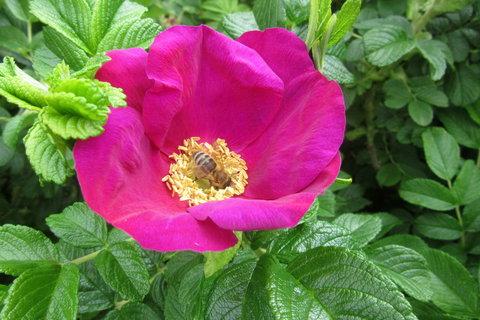 FOTKA - Růžička svrasklá a včelka