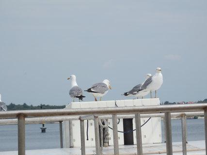 FOTKA - a racci čekají, co rybářům odpadne