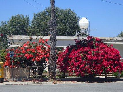 FOTKA - Cyprus - krásna flóra v meste Paphos