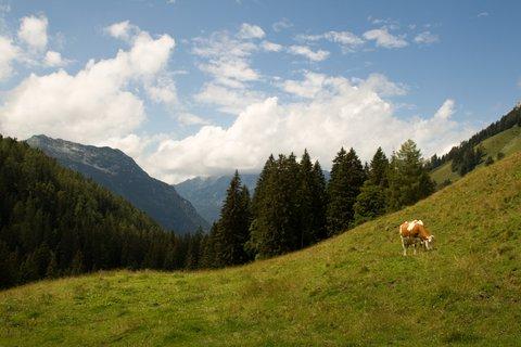 FOTKA - Výšlap na Kallbrunnalm - Kráva na pastvě