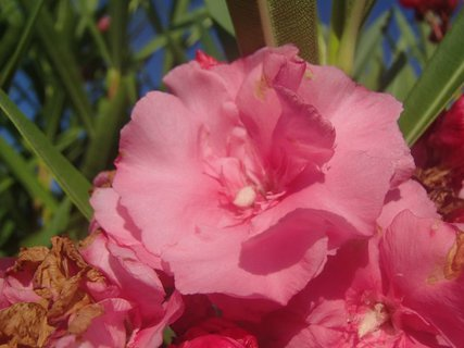FOTKA - Cyprus - kvet oleandra