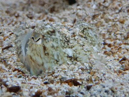 FOTKA - mimikry (akvárium v Pule)