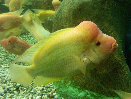 FOTKA - zvláštní druh ryby s boulí - v mořském akváriu  / v Pule / Chorvatsko