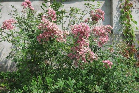 FOTKA - Čakovice -  horní část parku s růžemi