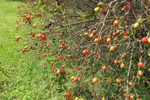 FOTKA - Čakovice -  šípky začínají červenat