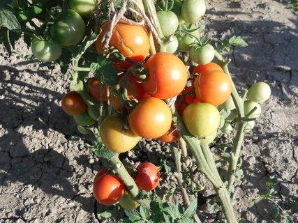 FOTKA - naše paradajky pekne dozrievaju,ale praskaju