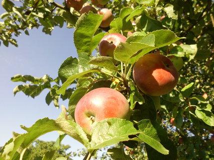 FOTKA - jablčka čeveneju-august