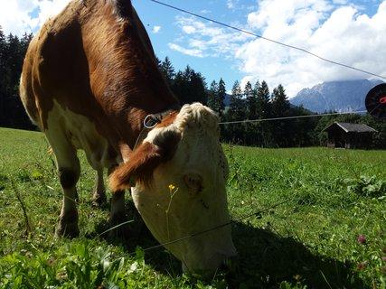 FOTKA - Letní Ritzensee - Kráva na pastvě