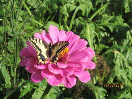 FOTKA - Motýlek na cínii
