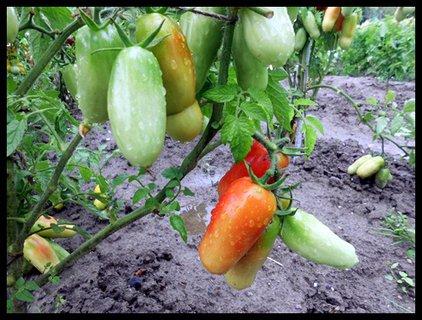 FOTKA - odlišný tvar paradajok